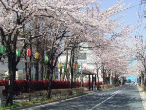 瑞江西通り 桜