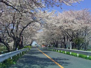 篠崎水門 桜